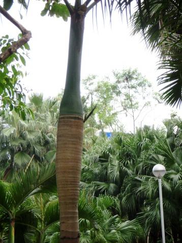 [原创]单子叶植物~棍棒椰子(7P) - 狮子山上雾茫茫 - 狮子山上雾茫茫攝影集 的博客