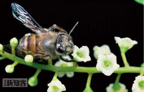 中华蜜蜂的衰亡 - 《新知客》杂志 - 新知客