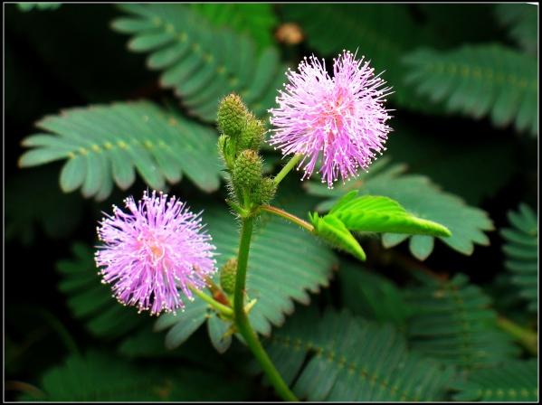 含羞草花(6p)