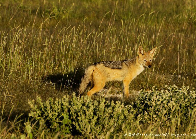 纳米比亚野生动物拍摄散记(二) - 晓月 - 走马观景