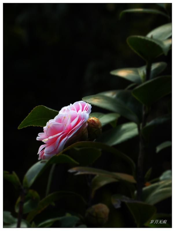 茶花赋(四)粉色【原创摄影】 - 岁月无痕 - 岁月无痕