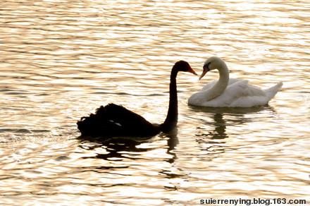 白天鹅与黑天鹅图片