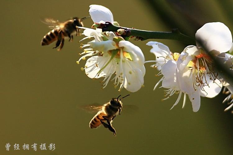 【原创摄影】  广州萝岗香雪公园-----梅香醉蜂 - 曾经拥有 - 我的摄影花园