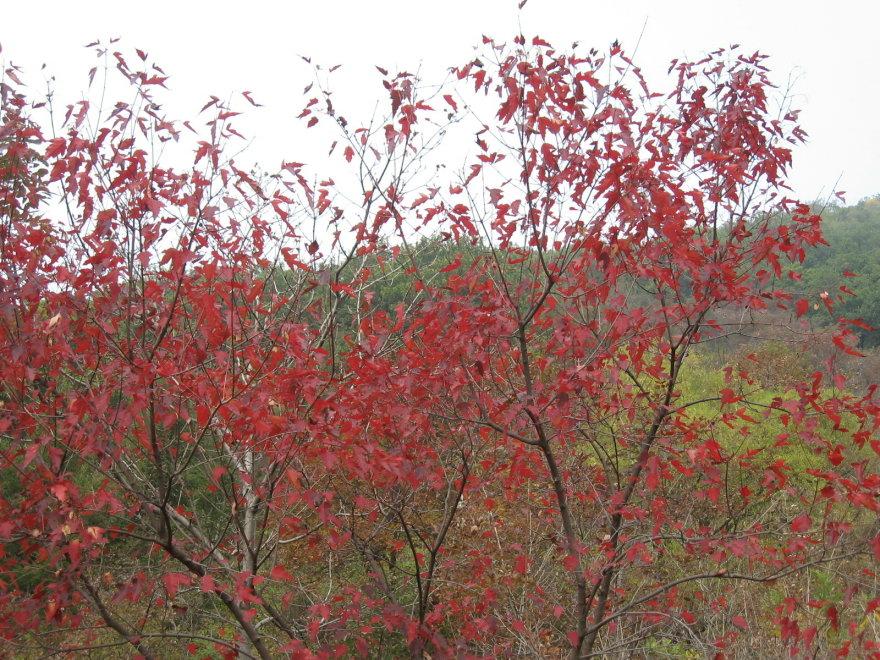 家乡的红叶 - 无公害老玉米 - 无公害老玉米的博客