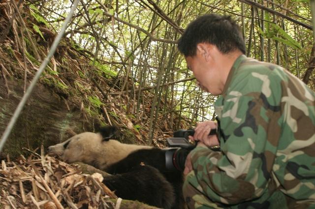 野生大熊猫的幸福生活 生命生生不息 - 行者 - 《行者》旅游卫视