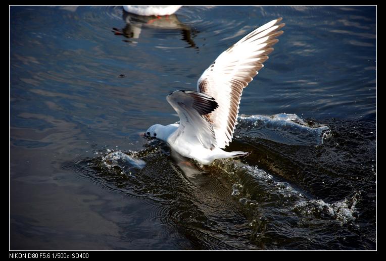 [原创]春城海鸥戏碧波(三) - 逍遥 - junchang0318的博客