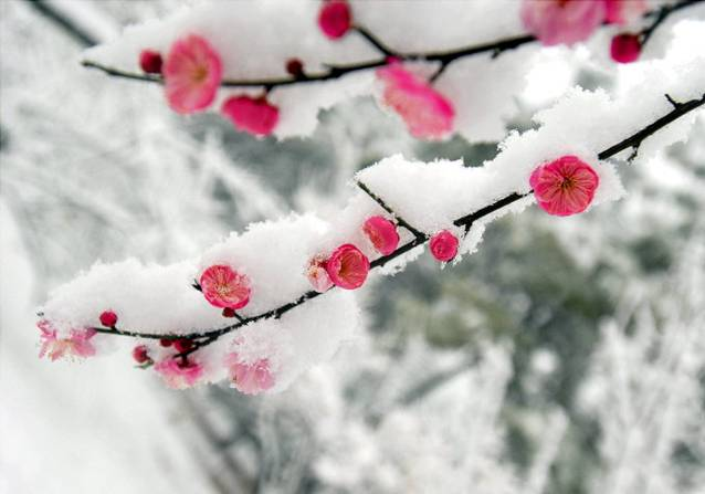 [原创]雪与梅 - xuebaimeihong - 红藕飘香
