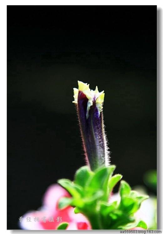【原创摄影】   日本牵牛花 - 曾经拥有 - 我的摄影花园