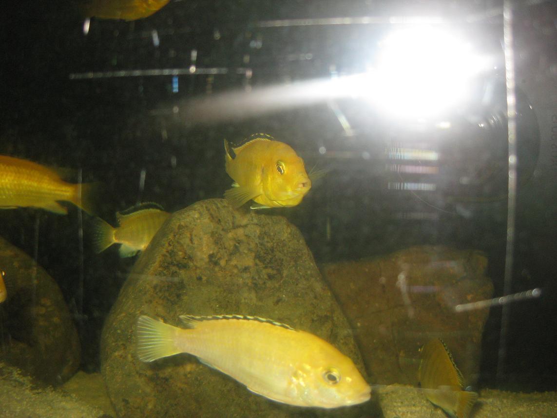 王子的喜讯-----终于含卵了!!!! - x-999 - 牧 鱼 水 族