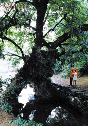 相思树 - li-qy - 烟雨行囊:右岸左人的部落客