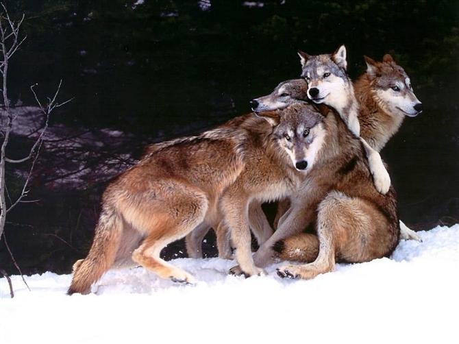 [转] 男人应该向狼一样活着  - 人剑合一 - 人剑合一 孙禹 的博客