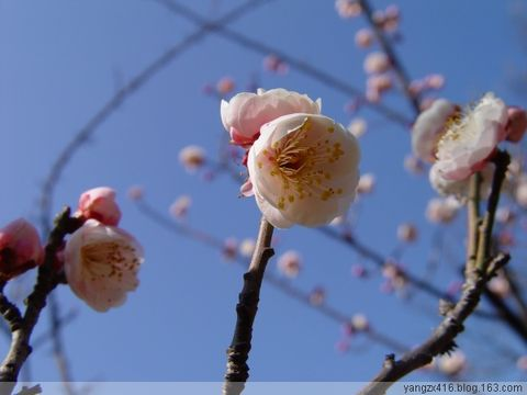 梅--我的摄影 2009年1月29日 - angel.yzx - 惠风和畅