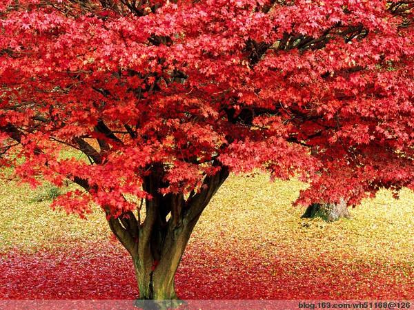 朋友赠:枫叶是这样的红! - 枫叶流丹 - 枫叶流丹的心韵