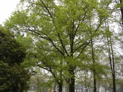 中国的枫香树 - pfspfs666.popo - 反三的博客