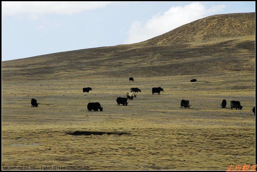 青藏高原之行____雄性的高原 - 西樱 - 走马观景