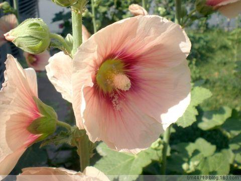 原创蜀葵 (端午花) - 兰州园丁ljm44713 - 我的博客原创照片,欢迎指导