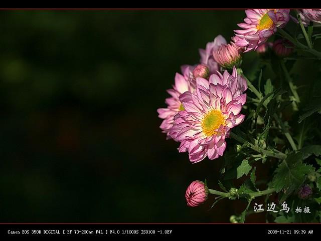 [原创摄影] 08森林公园菊展之三 - 江边鸟 - 江边鸟的博客