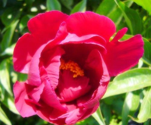 历代咏芍药诗词选 - 很爱很爱安静平 - 很爱很爱安静平的博客