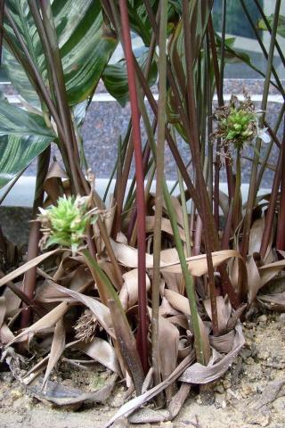 孔雀竹芋的花〔原创摄影〕 - 狮子山上雾茫茫 - 狮子山上雾茫茫攝影集 的博客