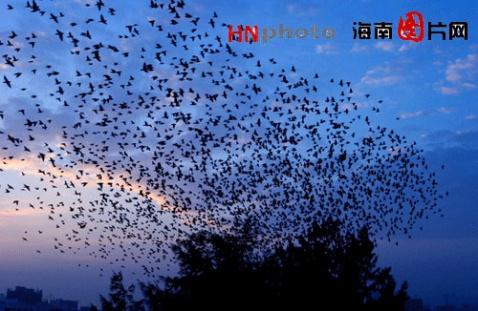 鸟群遮天蔽日 海口出现丝光椋鸟齐飞奇观(图) - lvse-123456 - 衣行天下,行若无事
