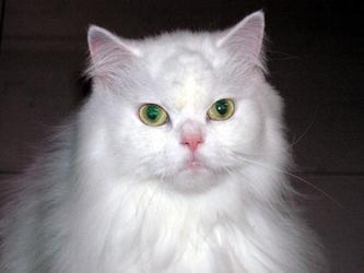 2007年9月06日我們家診所的交際貓~咪咪