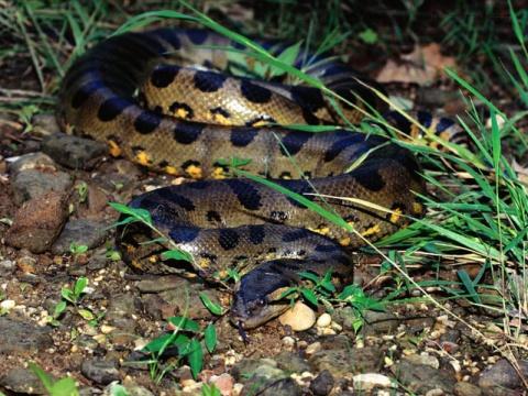 引用 乌梢蛇笼里的大石子 —乌梢蛇的蛋 - xianggang01234567 - xianggang01234567的博客