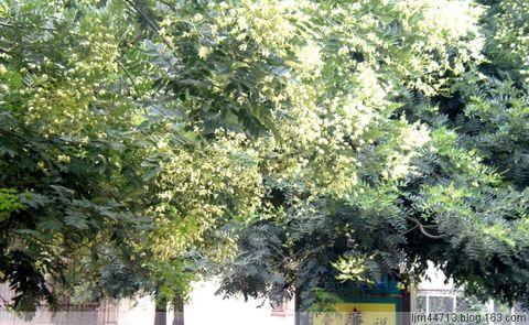 《 原 创 》 槐 花 黄,万 家 香.( 兰 州 园 丁 ) - 兰州园丁ljm44713 - 我的博客原创照片,欢迎指导