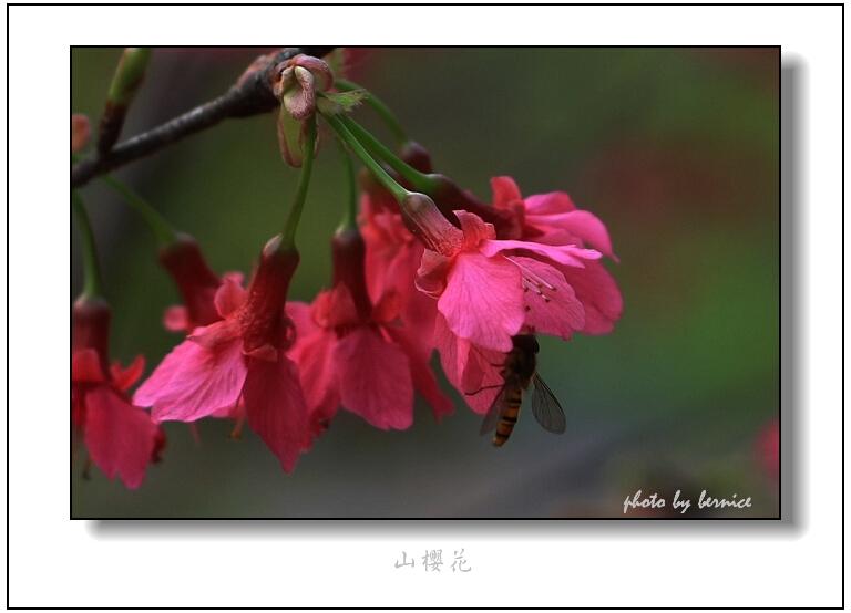 【原创摄影】樱花红陌上 - 王工 - 王工的摄影博客