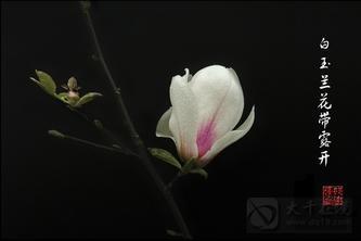 (小小说原创)雷雨,白玉兰花