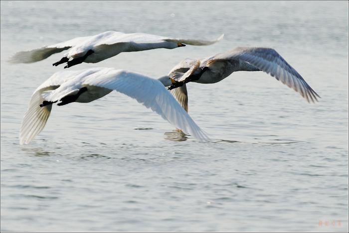 [原创]鸟影08天鹅——心在飞翔 - 迁徙的鸟 - 迁徙鸟儿的湿地