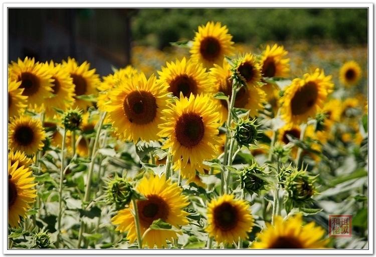 (原创50P)七月田园系列集③ --《向日葵》 - 风和日丽(和佬)  - 鹿西情结--和佬的博客