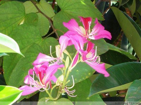 紫荆花 - 半支莲 -