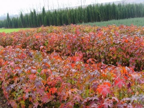 北美枫香树供货信息 - pfspfs666.popo - 反三的博客