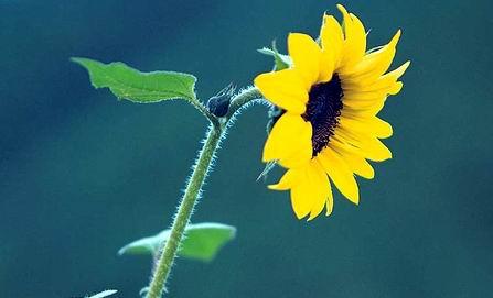 方舟子:向日葵向日是愚弄所有人的大骗局?