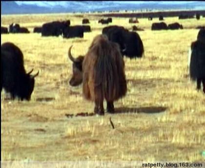 老鼠皇帝西游记之西藏(上)、海南五指山 - 老鼠皇帝+首席村妇 - 心底有路,大爱无疆