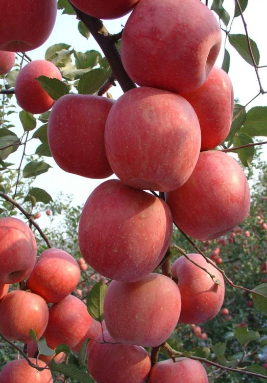 金秋苹果(七绝)金秋苹果 - 赶海者 - 我的博客