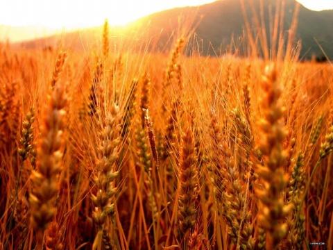 原创麦收的故事[图文] - 微尘 - 消化百味  享受快乐