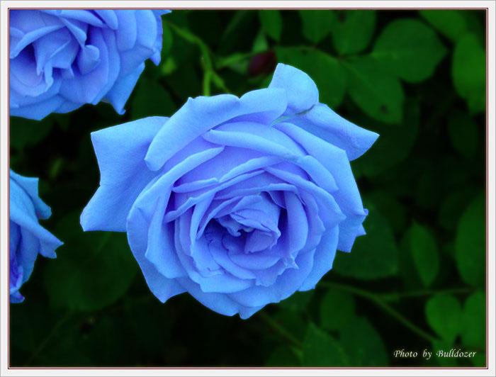 """蓝色玫瑰花语""""蓝色妖姬""""!"""""""