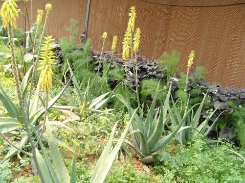 温室里生长的芦荟   温室里生长的瓜果蔬菜.   温室里生长