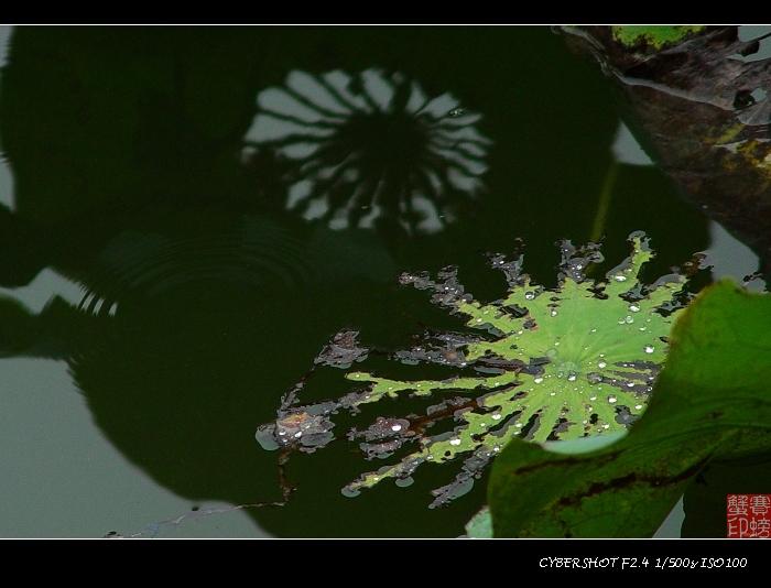 【原创】留得荷花听雨声(一) - 小友(saipangxie) - 赛螃蟹的家--小友摄影空间