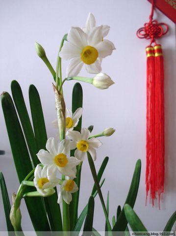 水仙缘 - chuncang - chuncan的博客欢迎你!