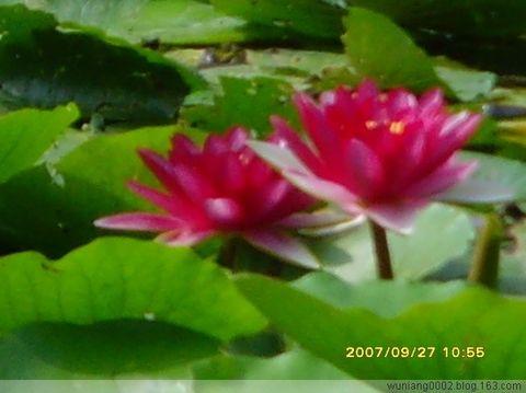 [原创]《赞美夏日湖池里的睡莲》 - wuniang0002 - 阳光舞娘的空间