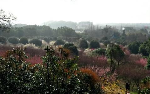 早春探梅 - 张老师 - 带着田园心情,享受都市生活