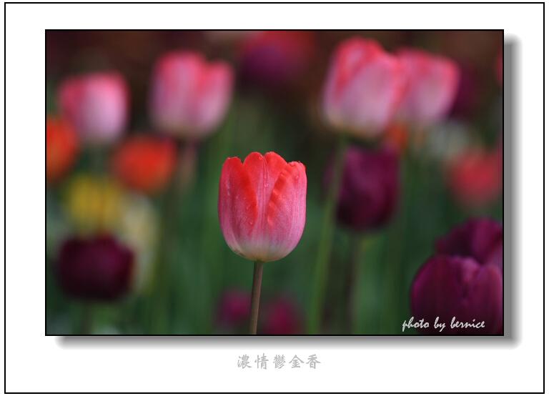 【原创摄影】浓情郁金香 - 王工 - 王工的摄影博客