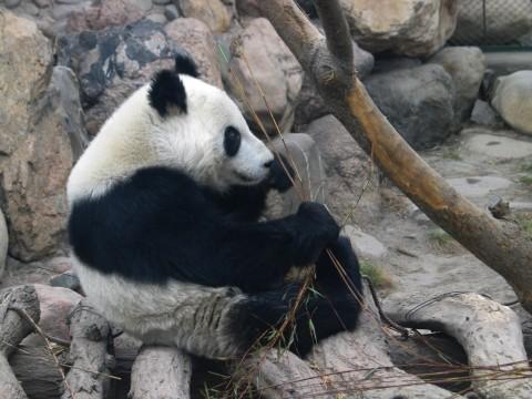 《 原 创 》兰州动物园里的国宝大熊猫(兰州园丁摄) - 兰州园丁ljm44713 - 我的博客原创照片,欢迎指导