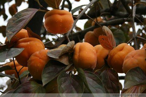 [原创]红颜秋柿 - Kajia - 脚印一点点