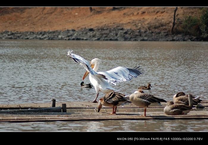【原创】水禽鹈鹕 - 梦幽幽 - 梦幽幽原创摄影工作室