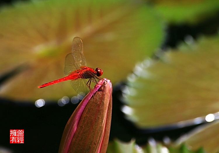 (原创摄影)荷趣(8)之蜓婷玉立 - 曾经拥有 - 我的摄影花园