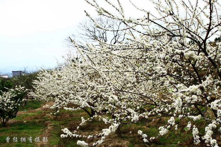【原创摄影】   溪头李花香 - 曾经拥有 - 我的摄影花园
