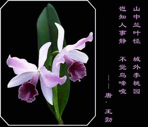 引用 兰  花 - hengdaxie - 开心快乐,每一天!